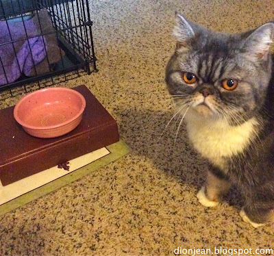 Cat wants food in her food bowl