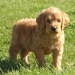 Goldendoodle Puppies on Goldendoodle Puppies