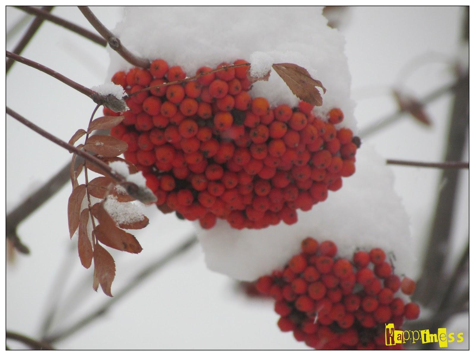зима, зимняя красота, рябина под снегом