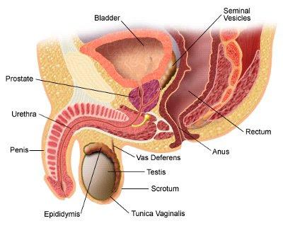 sistema reprodutor masculino próstata
