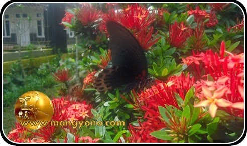 Kupu – kupu penghisap bunga ditaman mungil