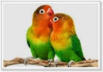 Jenis burung lovebird yang paling diminati pembeli