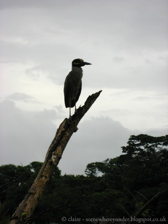 Heron - Tortuguero National Park, Costa Rica
