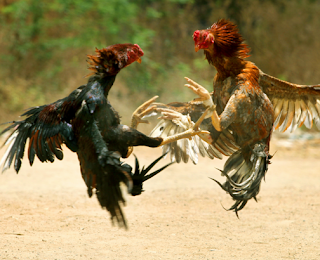 Kelebihan ayam siam dibanding ayam lainya
