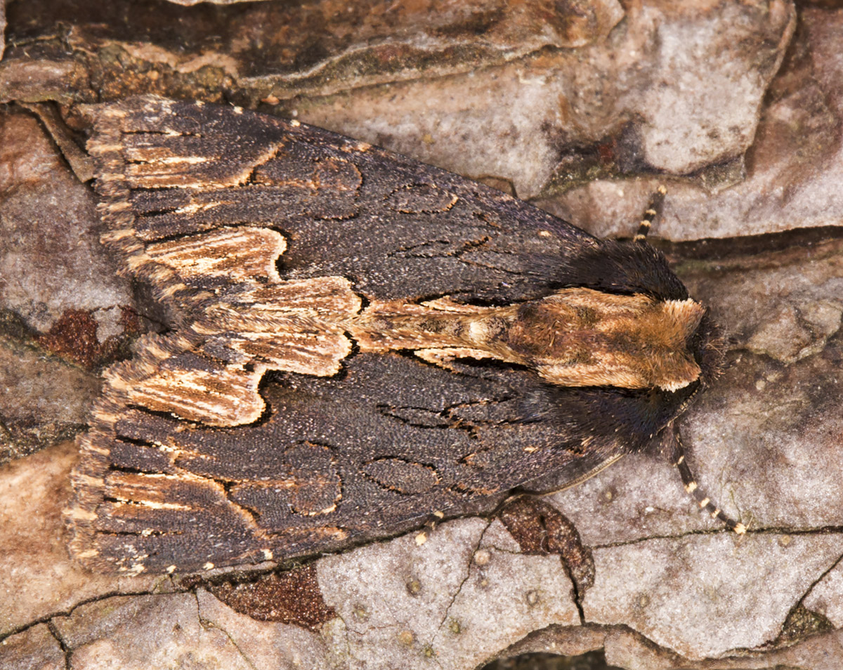 Bird's Wing, Dypterygia scabriuscula.  Noctuidae.  In my garden light trap in Hayes on 12 June 2014.