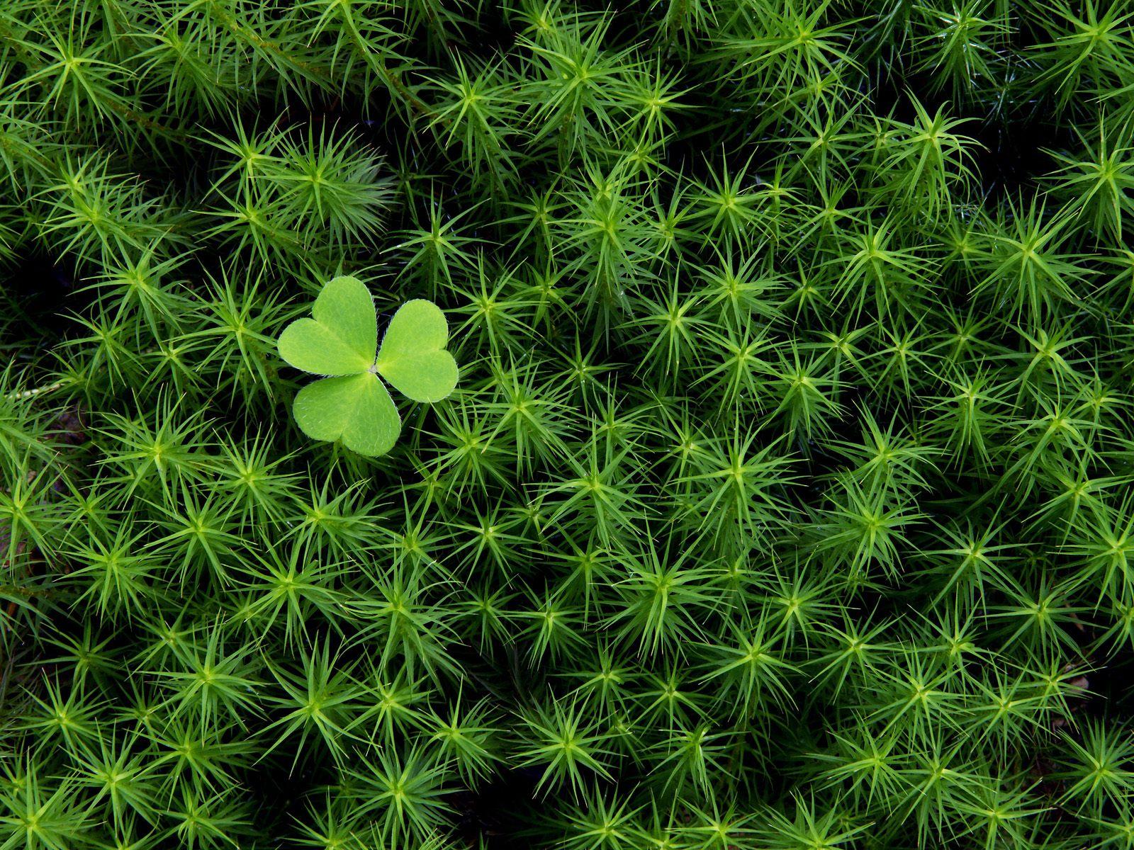 http://3.bp.blogspot.com/-VMkA7Ia3nnc/T10fi73ikkI/AAAAAAAABeE/mVAWvSDWSR0/s1600/St_Patrick_s_Day_Clover_wallpaper.jpg
