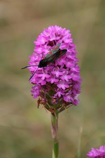 Pyramidal Orchid (Anacamptis pyramidalis), 6 Spot Burnet Moth (Zygaena filipendulae)