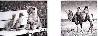 Bebek, Kucing dan Unta