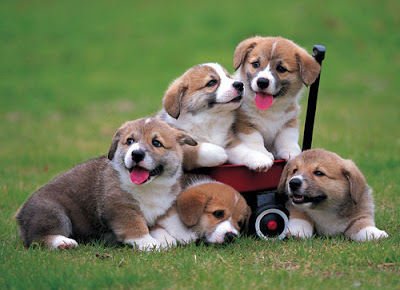 Familia de cachorros - Funny and cute puppies