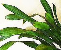 wafacw corn-plant