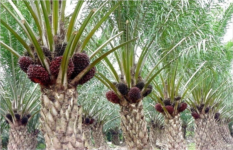Prognosi Riservata Naturalmente Olio Di Palma Naturally