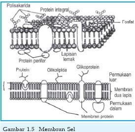Fungsi membran sel dan struktur membran sel