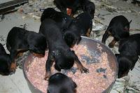 dobermann cuccioli cani alimentazione