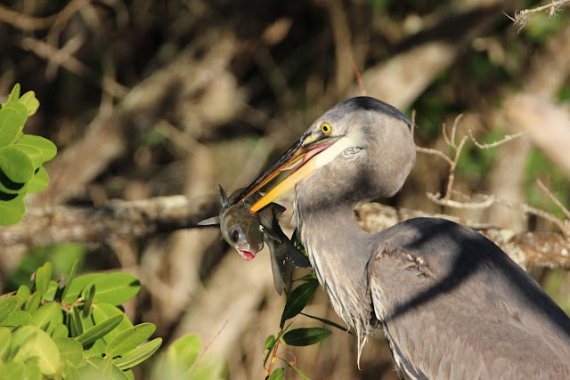 Great Blue Heron Eats Large Fish
