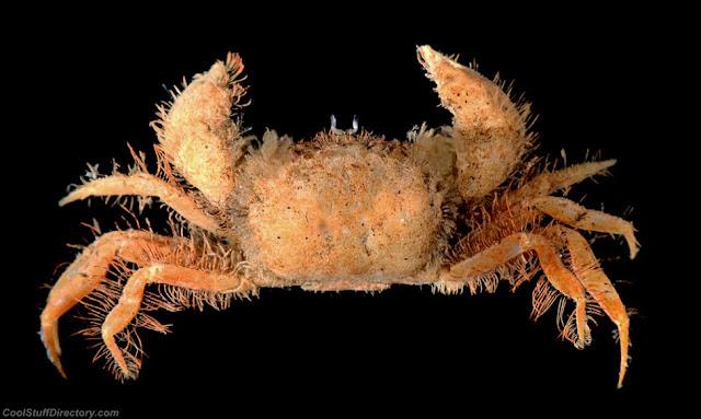 Hairy deepwater crab (Rhizopinae)
