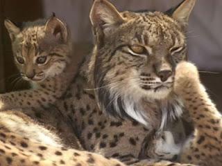 Lynx pardinus - Lince ibérico
