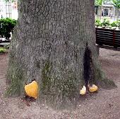 Egetræet på Torvet i Gråsten