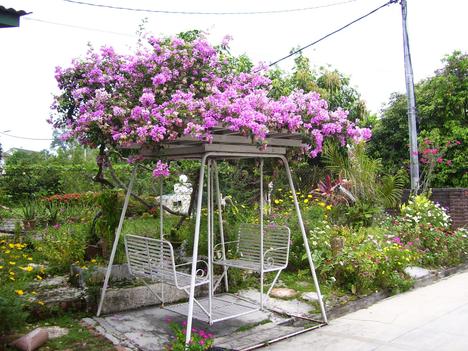 theperanakanconnection: How to grow bougainvillea from cutting