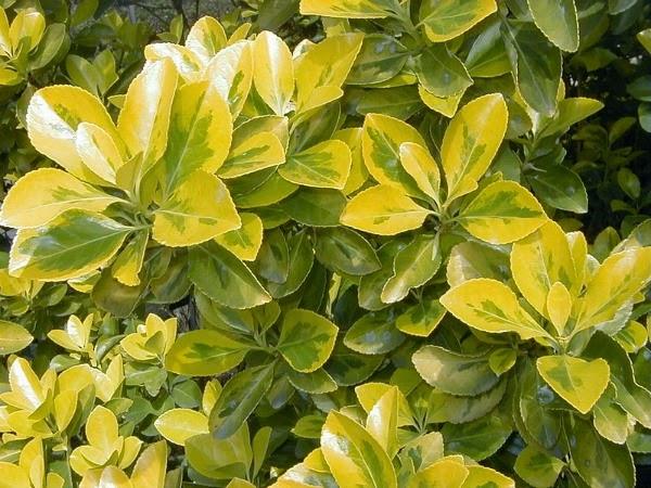 15 plantas con flores u hojas amarillas guia de jardin for Arbustos de hoja perenne para jardin