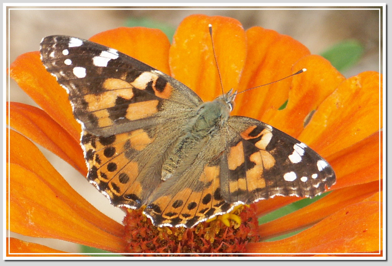 Meandering Thoughts: Painted Lady Butterfly vs American ...