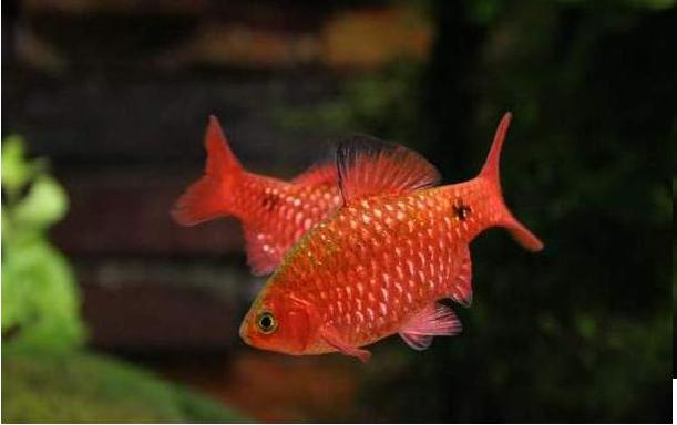aquarium fishes: rosy barb fish care