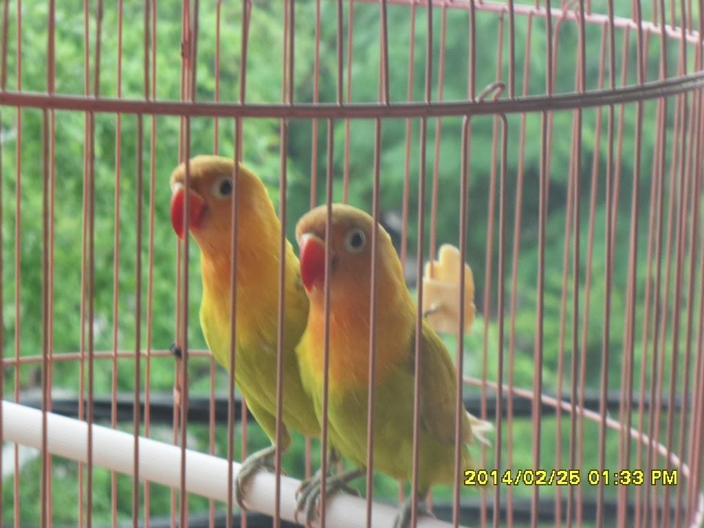Gambar Foto Burung Cinta, Love Bird, Lakbet, Labet, Lovebird