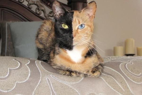 Что это настоящий окрас кошки хозяйка