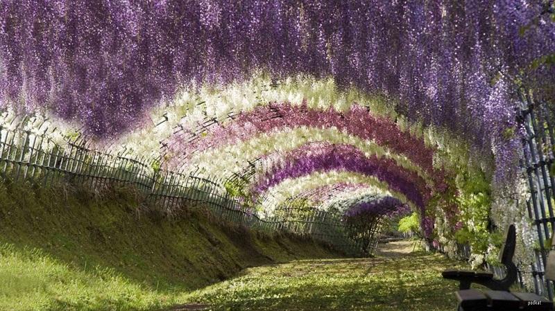 Terowong pokok Wisteria