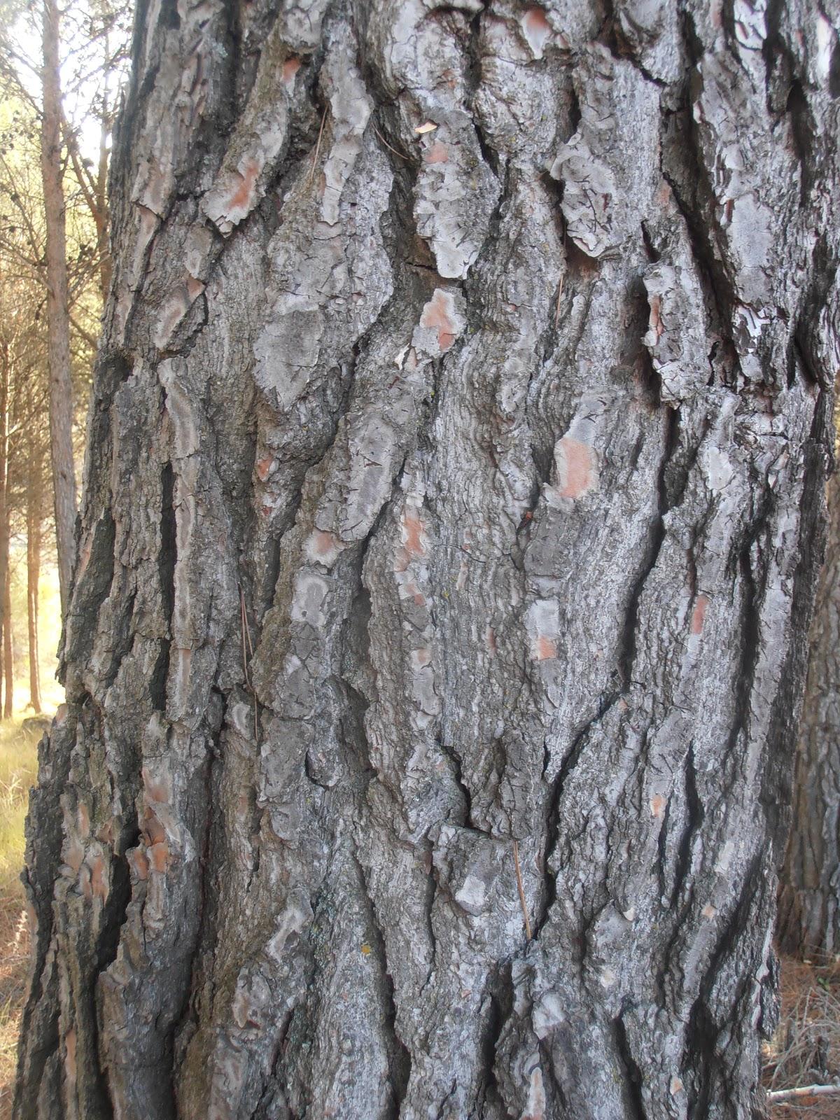 Entre plantas y bichos como distinguir especies de pinos - Corteza de pino ...