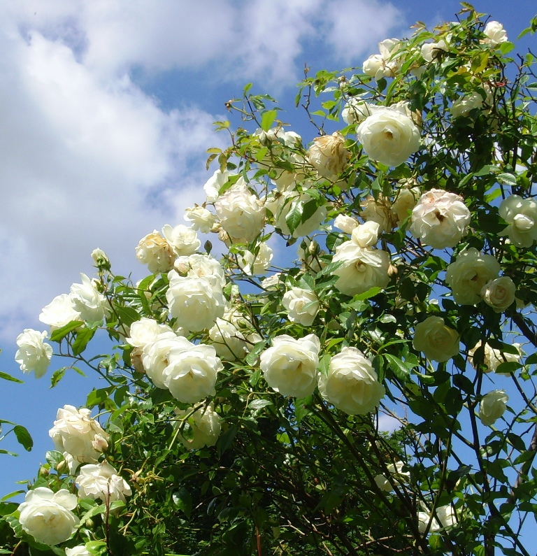 The basketry garden roses grow on you for Rosa iceberg