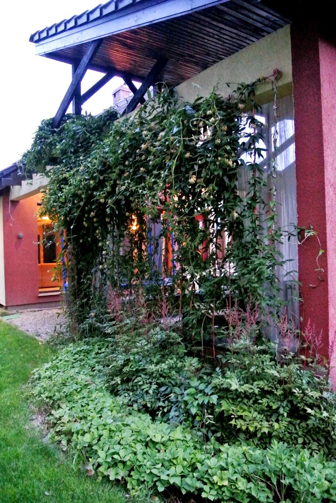 ściana pnączy,na czym puścić pnącze,sznur do pnączy,wiciokrzew,dereń kanadyjski,grill w ogrodzie,miejsce na grila w ogródku,nietypowy grill,nietypowy taras,wyjątkowy dom,ciemna elewacja,skośny dach na tarasie,zadaszony taras