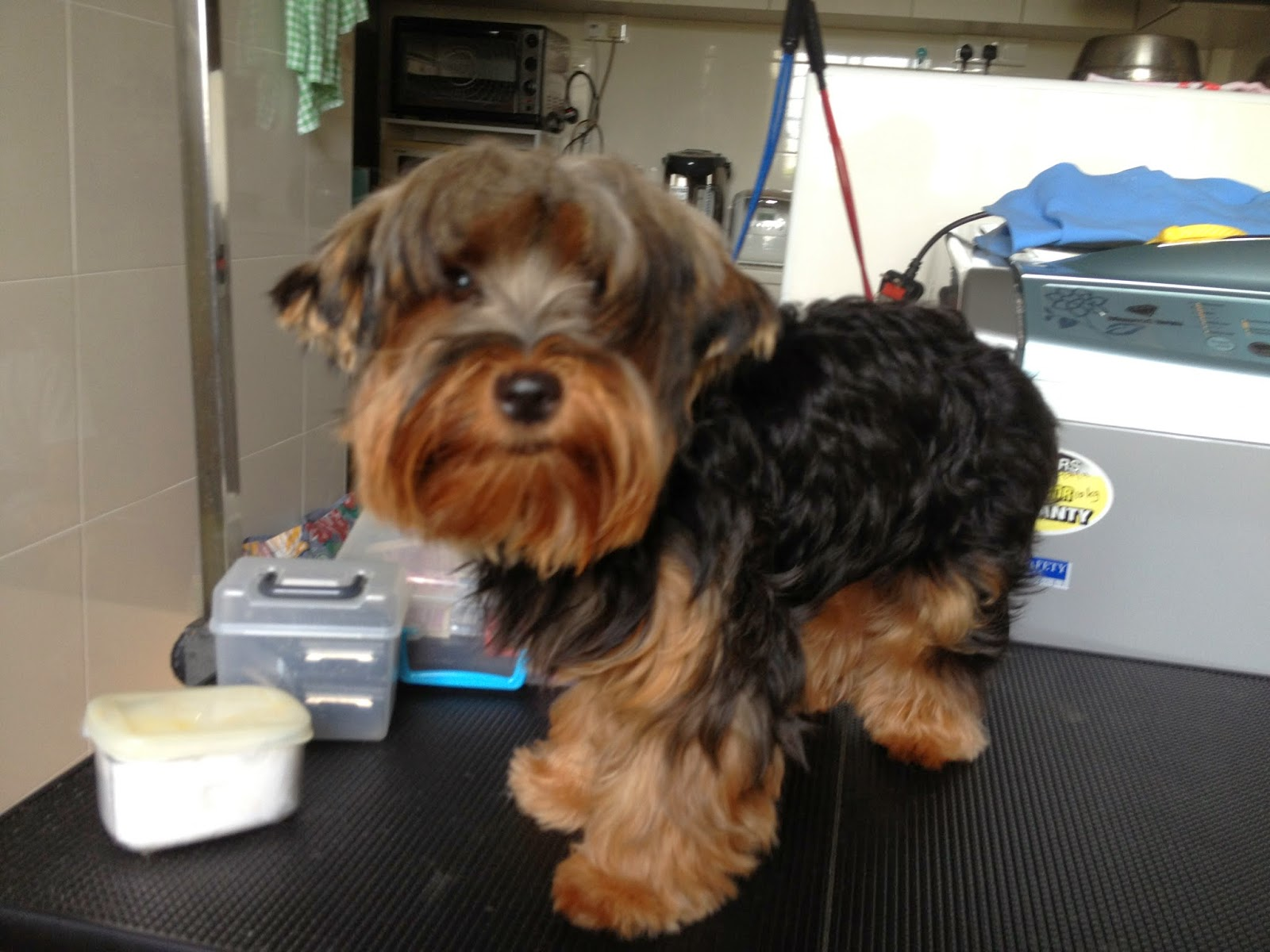 Yorkie Puppy Cut Instructions picture wallpaper