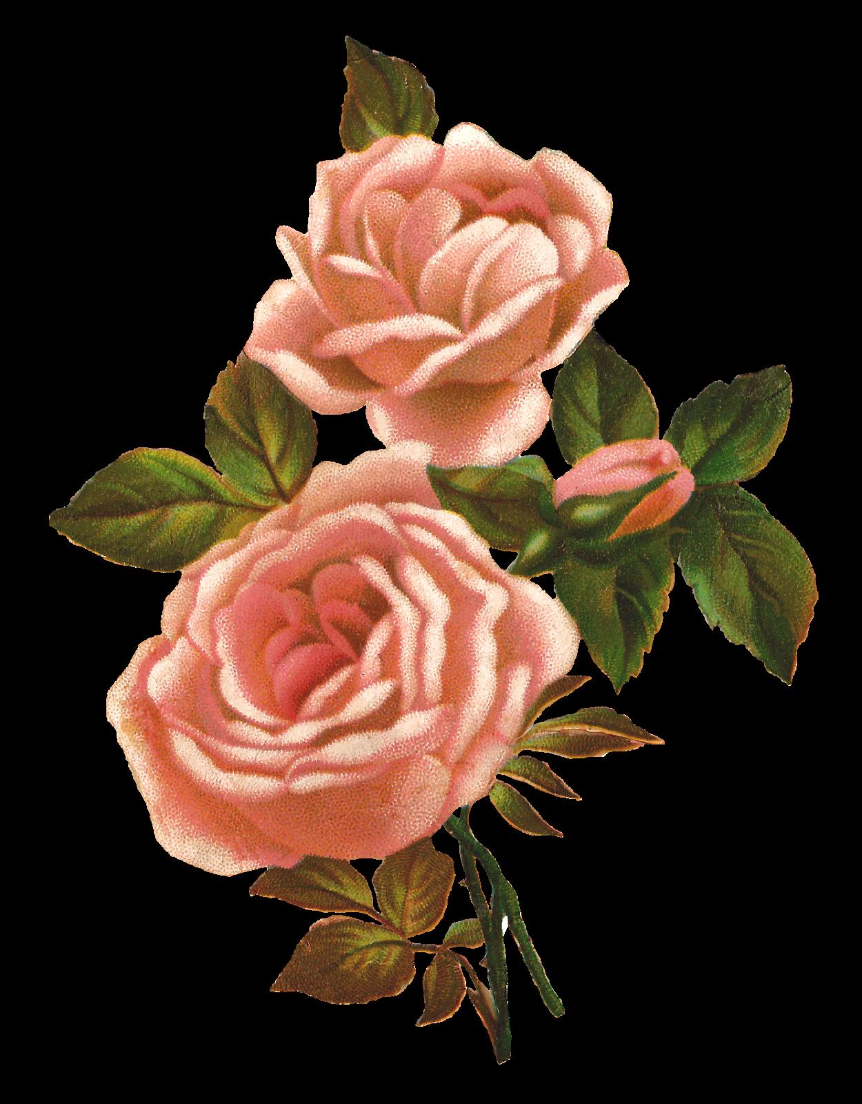 antique images pink rose stock image vintage shabby pink rose clip art background pink roses clipart background