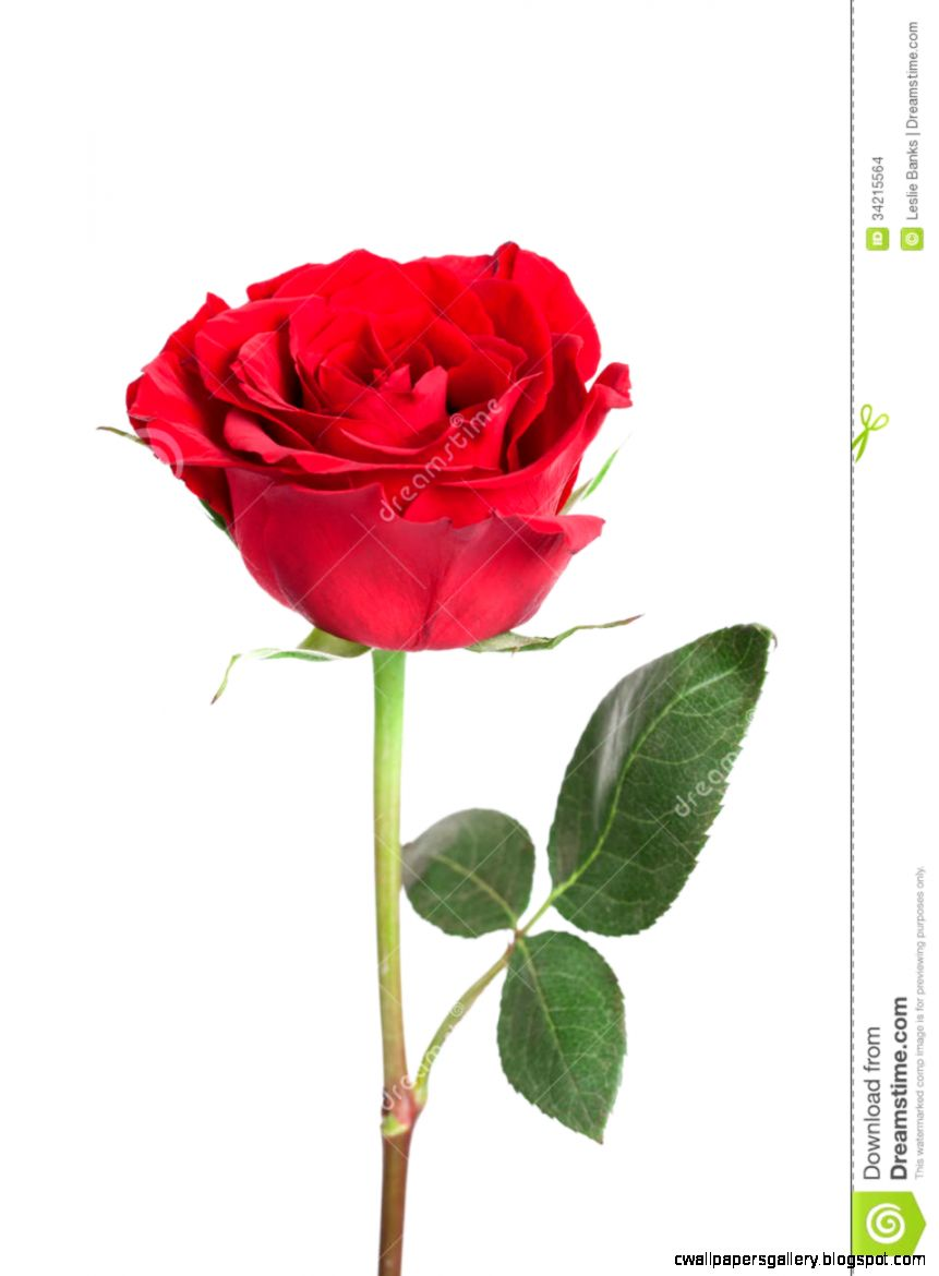 Single Red Rose Stock Images   Image 34215564