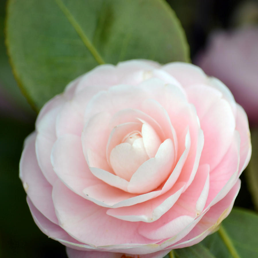 camellia flower meaning  flower, Natural flower