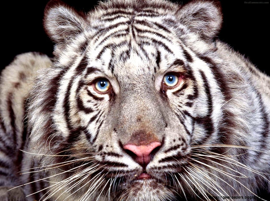 Animal Picture White Tiger With Blue Eyes Wallpaper  Animal Pictures