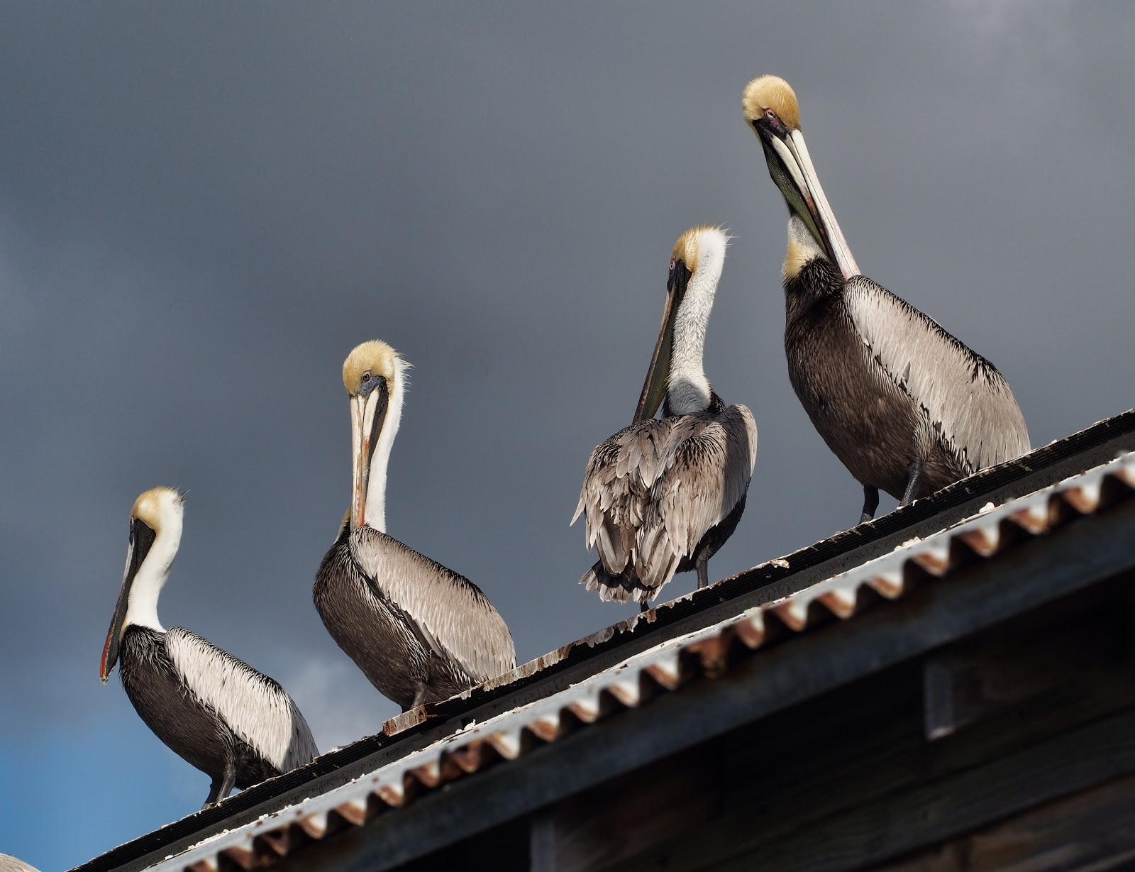 Waiting, #pelicans #pelicans #keywest #Florida #travel 2014