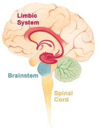 limbic system on our brain