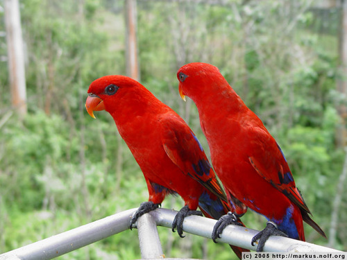 Macaw parrot red - photo#22