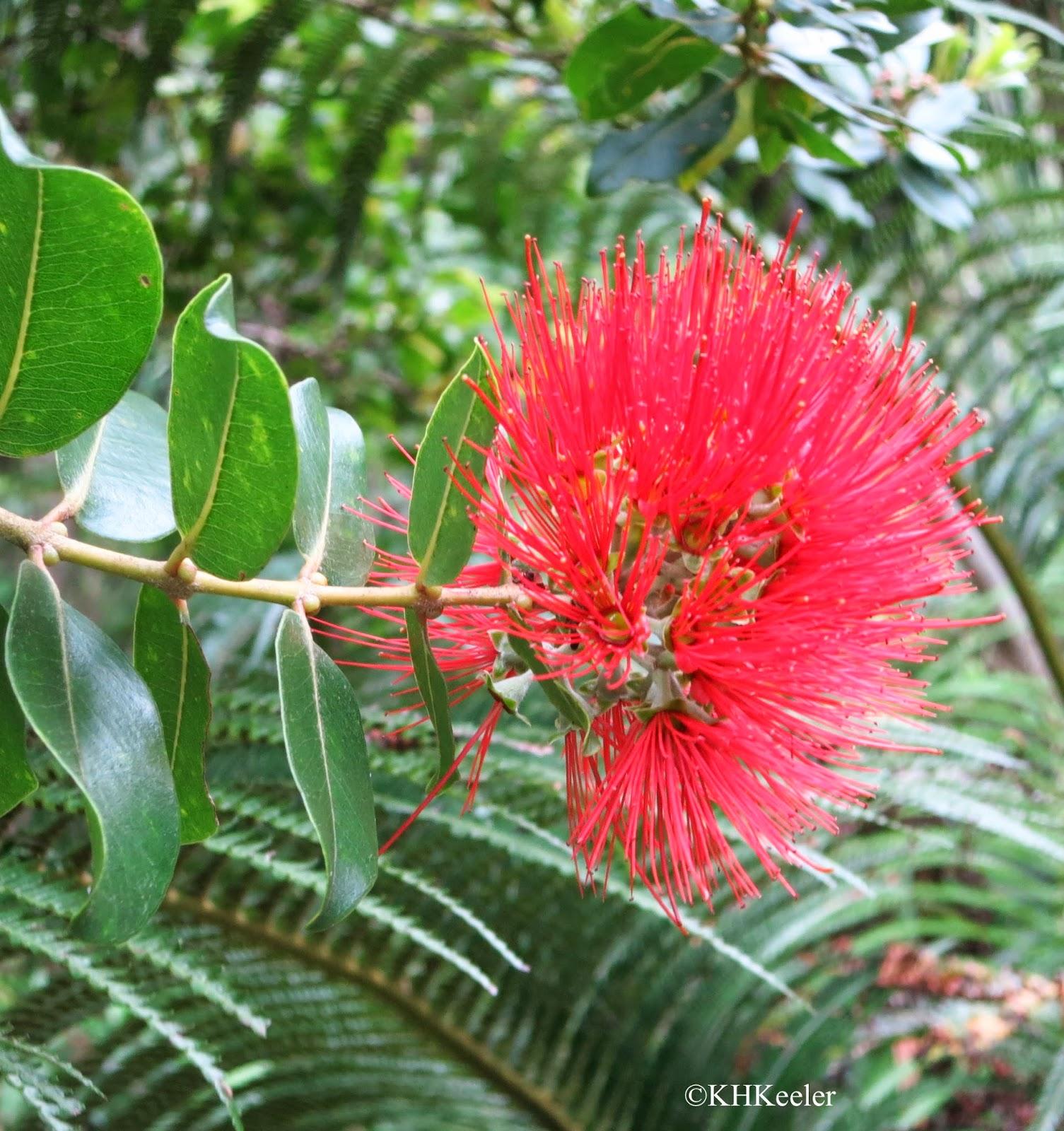 A Wandering Botanist Visiting Kauai Native Flowers