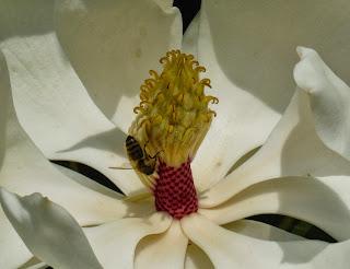 Magnolia+grandiflora
