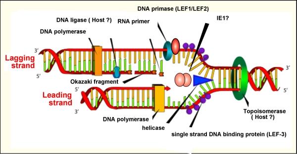 biology quiz words dna : dna ligase diagram - findchart.co