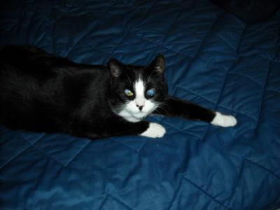 Kot czarno-biały