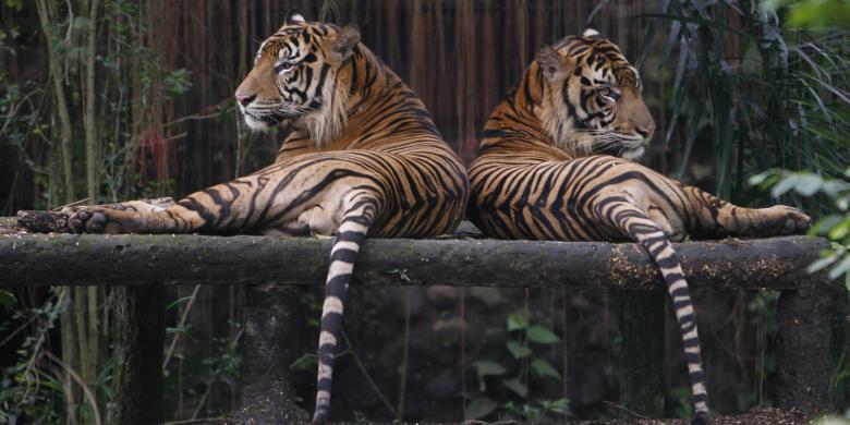 Dikepung Harimau