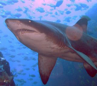 Le shark management