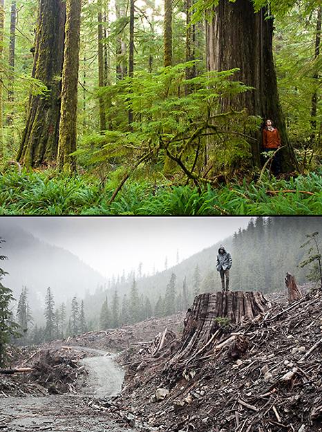 Vancouver Island Big Trees: July 2013