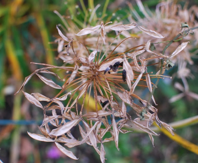 Brown seed head with glossy black seeds of agapanthus