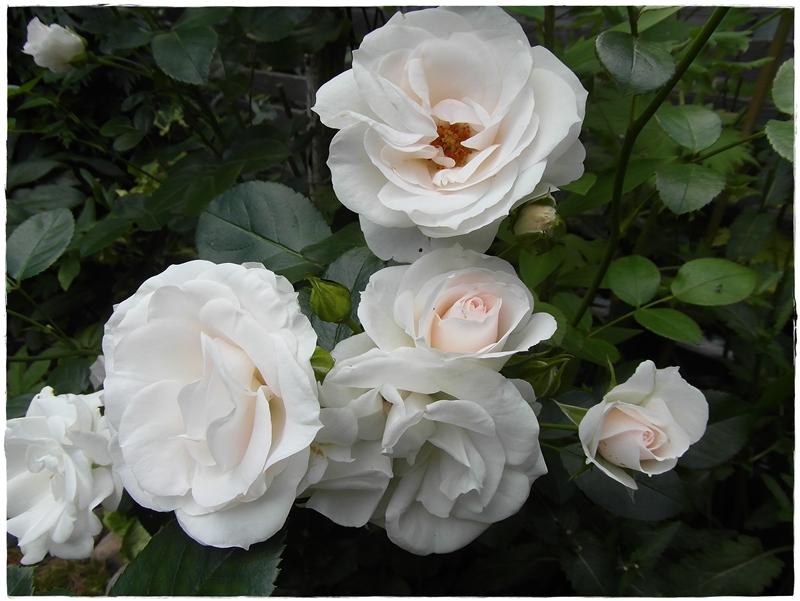 mammasblommor fler rosor som blommar. Black Bedroom Furniture Sets. Home Design Ideas