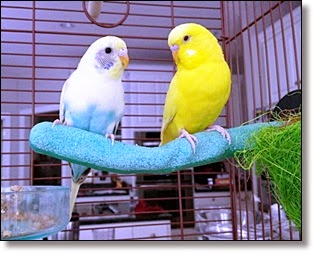 Picture of two canaries