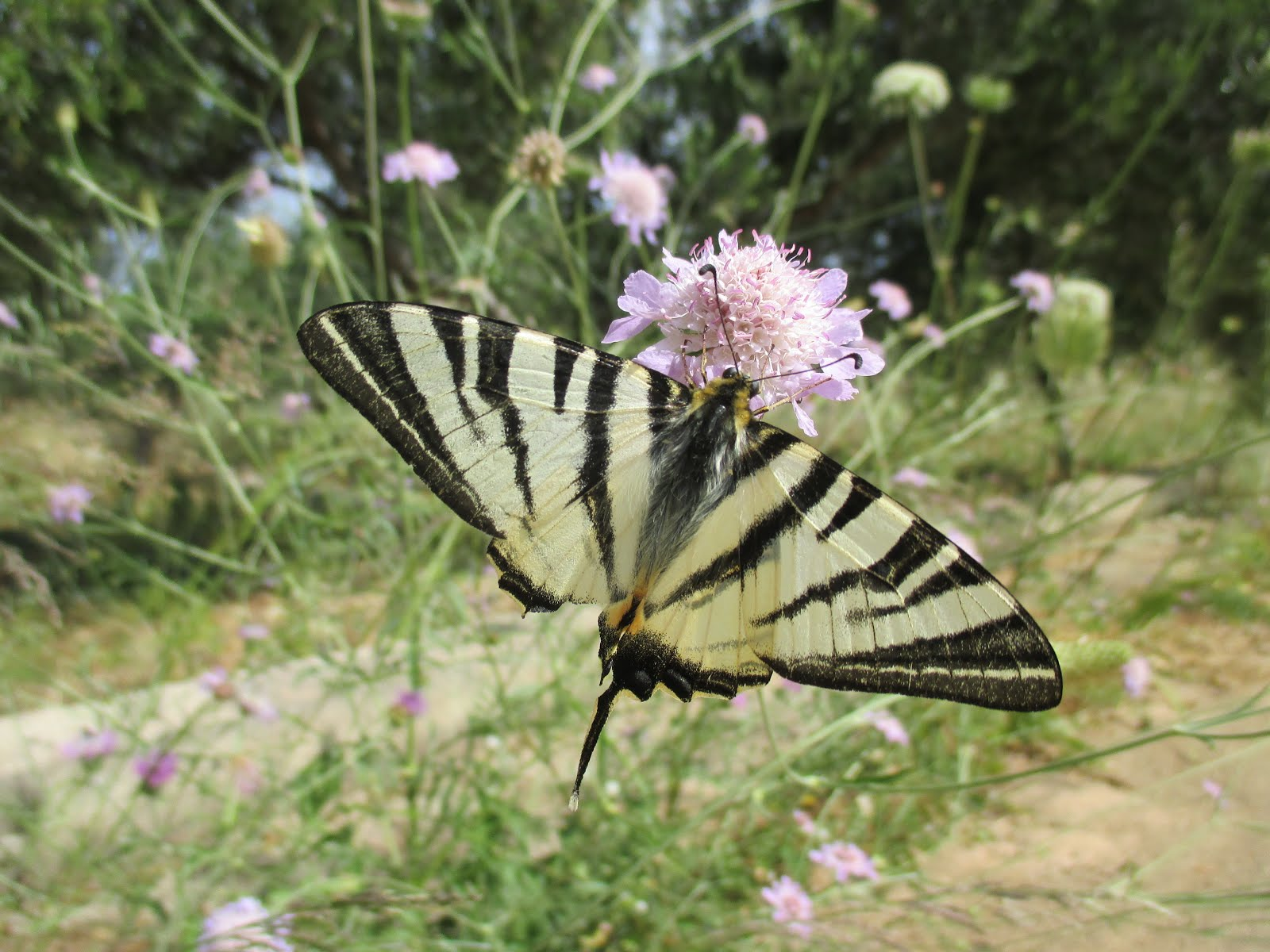 Butterfly on Flower, Chania, Crete, Spring 2015